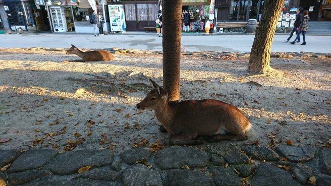 Rusa di pulau miyajima hiroshima jepang